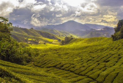Discover Nepalese Tea