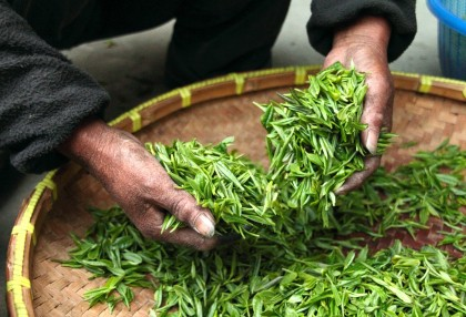 ENJOY THE FIRST TASTE OF SPRING WITH A FIRST FLUSH DARJEELING